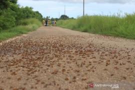 Belalang kumbara serang desa di NTT