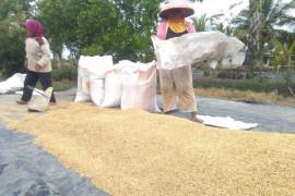 Harga gabah di Lampung turun 4 persen