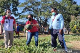Lapas Atambua panen ratusan semangka hasil budi daya warga binaan