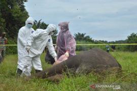 Gajah sumatera mati tanpa kepala di Aceh