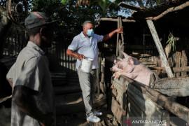 Dominika akan musnahkan puluhan ribu babi akibat demam babi