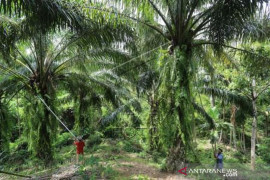 Aceh Terima Dana Peremajaan Sawit Rakyat Page 1 Small