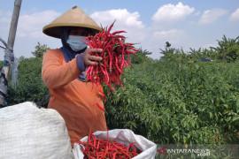 Legislator: Petani Cabai Penuhi Kebutuhan Industri Stabilkan Harga