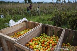 Harga Tomat Naik Akibat Cuaca Page 2 Small
