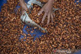 Kontribusi Sulteng pada Produksi Kakao Nasional Page 1 Small