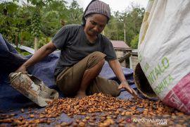 Kontribusi Sulteng pada Produksi Kakao Nasional Page 2 Small