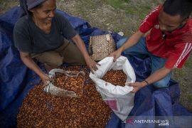 Kontribusi Sulteng pada Produksi Kakao Nasional Page 3 Small
