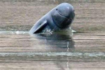 Ikan pesut Riau yang tersesat berhasil dievakuasi