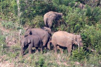 Lagi, Kawanan gajah liar terjebak di area perkebunan di Aceh Utara