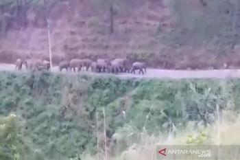 Kawanan gajah liar terjebak di area perkebunan warga