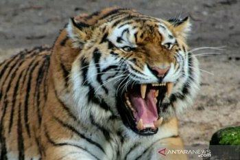 Harimau Sumatera muncul di kawasan wisata Danau Khayangan