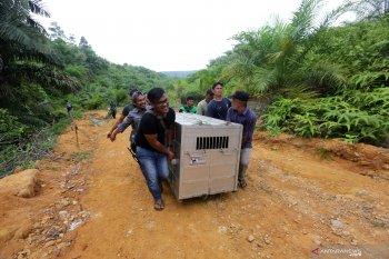 BKSDA lepas liarkan anak harimau Sumatera yang masuk perangkap