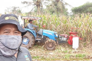 Ditengah pandemi COVID-19, Petani Banten panen raya Padi dan Jagung