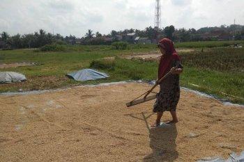 Panen raya di Lebak mampu tingkatkan pendapatan petani