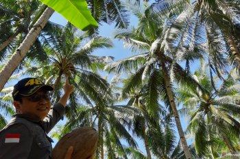 Minyak kelapa murni peluang baru di tengah COVID-19