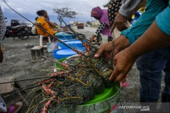 Strategi budidaya lobster nasional