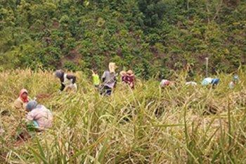 Merangin masih panen, petani berusaha adopsi teknologi usaha padi lebih baik