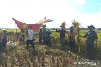 Suka cita petani Pandeglang saat panen ditengah wabah COVID-19