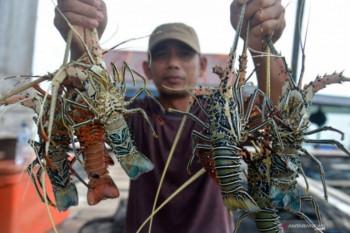Kontroversi lobster antara budi daya dan ekspor benih