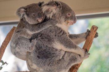 Koala di New South Wales kemungkinan akan punah pada 2050