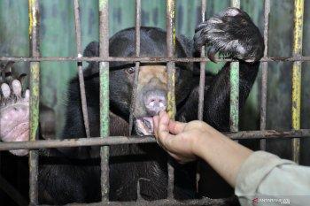 Induk dan anak beruang madu tersesat berkeliaran di kebun warga