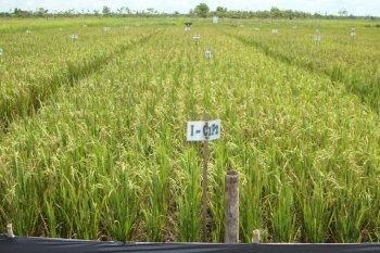 Menggenjot produksi pangan, Balitbangtan siap optimalkan lahan gambut