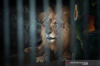 Petugas masuk kandang singa menolong petugas yang diterkam