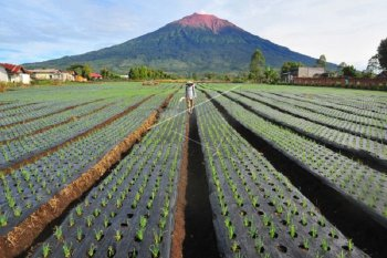 Petani Kerinci tetap jaga ketahanan pangan di tengah pandemi