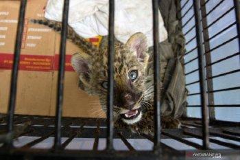 Empat pria penyelundup anak singa dituntut empat tahun penjara