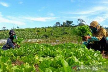 Petani binaan LAJ berhasil kembangkan pertanian hortikultura dimasa COVID-19
