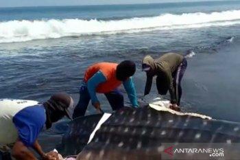 Tiga ekor hiu tutul terdampar di pesisir selatan Jember, satu diantaranya mati