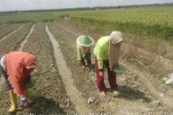 Petani kedelai Kabupaten Tanjung Jabung Barat lakukan penanaman