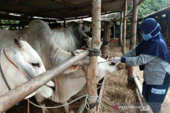 Idul Adha 1441, Jokowi beli sapi di Bantul untuk hewan kurban