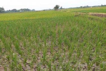 DPUPR Lebak: Petani jangan khawatir pasokan air