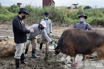 DPKH Kaltim lakukan pemeriksaan kesehatan ternak jelang Idul Adha
