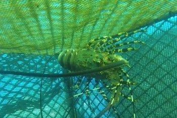 KKP siap beri kredit lunak ke nelayan pembudi daya lobster