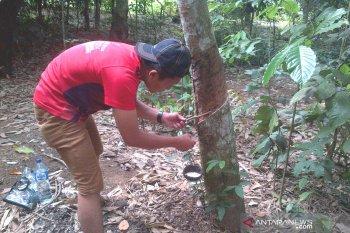 Petani karet di Bengkulu keluhkan rendahnya harga jual