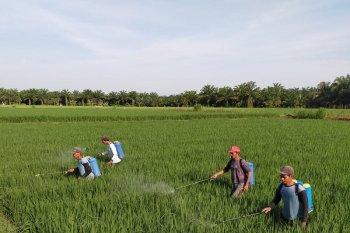 Belasan hektare tanaman padi di Mukomuko terserang ulat