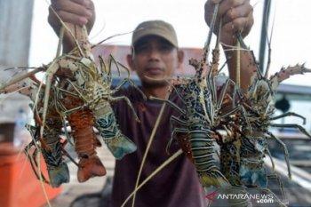 Pemprov  Aceh diminta perhatikan nelayan budi daya lobster