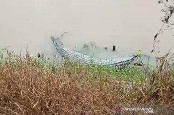 Dua buaya muncul di area bekas tambang timah, warga diminta waspada