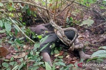 Dililit ular piton, seorang warga tewas