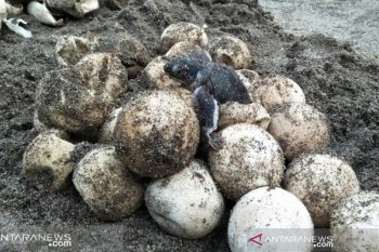 Kepedulian warga Koto Tengah serahkan 44 telur penyu lekang ke Jambak Sea Turtle Camp