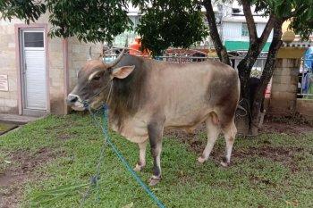 Gubernur Maluku serahkan hewan kurban bantuan Presiden Jokowi