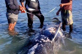Seekor paus pilot terdampar dan mati di NTT
