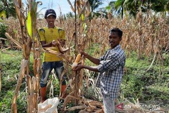 Kalbar kembangkan lahan percontohan tanam jagung di lahan kelapa