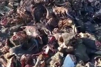 Polisi tangkap pelaku pembuangan ratusan kepala sapi di lahan kosong