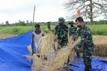 Indonesian soldiers offer rice harvesting assistance to Papuan farmers