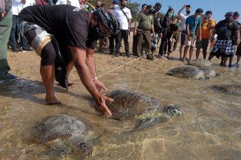 Pelepasliaran penyu di Pantai Sindhu