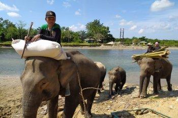 Bentang Seblat harapan terakhir pelestarian gajah Sumatera di Bengkulu