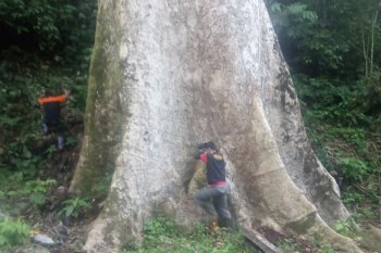 Pohon medang berusia ratusan tahun ada di Agam